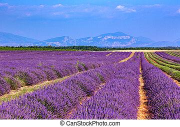 Lavender field summer landscape near...