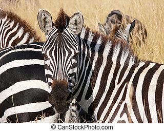 zebra's portrait in the savannah of masai Mara - zebra's...
