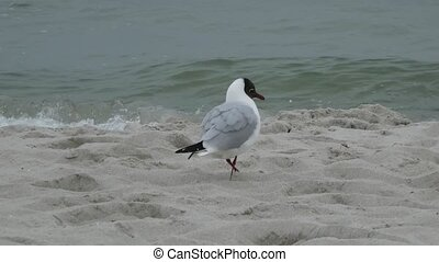 Grey Gull Walking on Beach - Grey gull walking in the sand...