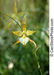 orchid - Orchid, False Epidendrum - Epi pseudepidendrum