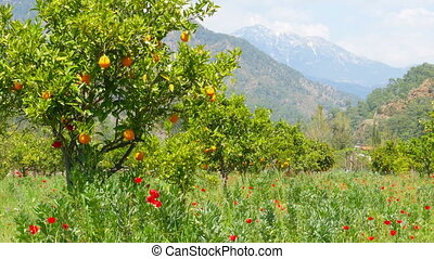quot;Winter change, Spring coming, orange trees over snowy...