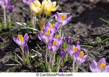 Crocus flowers in spring - Crocus flowers in early...