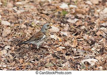 fieldfare on the dry leaves in the early spring