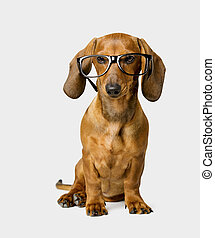 Dog in Glasses, Smart Dachshund - Dog in Glasses Isolated...