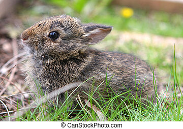 Cottontail Rabbit Young Baby - Cottontail Rabbit Young In...