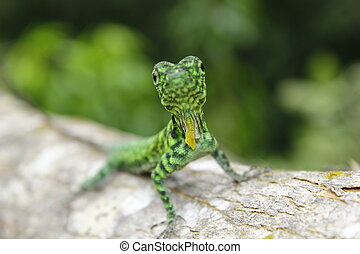 Draco Lizard, Draco volans - Draco lizards use their long,...