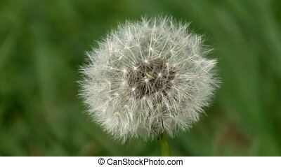 Dandelion macro - Macro of a dandelion with shallow depth of...