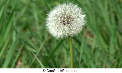 Dandelion clock - Dandelion releasing seeds at slow motion