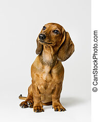 Dachshund, Brown Dog Sitting - Dachshund Isolated over Gray...