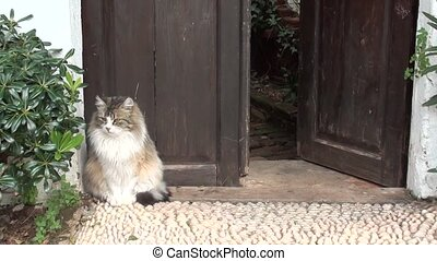 Cat attacked by dogs - A fluffy tricoloured cat sitting at...