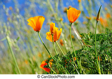 California Poppy And Wild Grasses - Orange California...