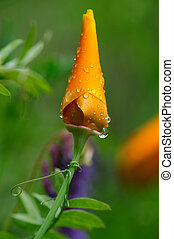 Unopened California Poppy - A single unopened Orange...