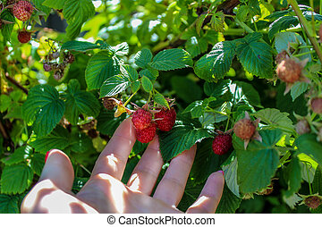 hand picking ripe berries of raspberries