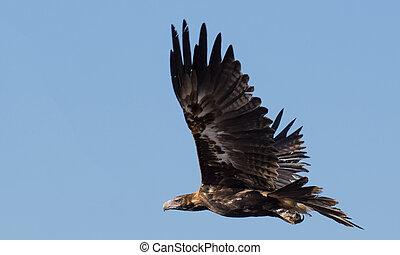Australian wedge tailed eagle in flight