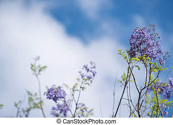Purple Jacaranda flowers with blue sky, clouds and copyspace