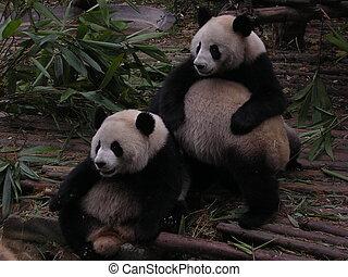 Giant Pandas - Young Giant Pandas, Chengdu