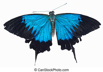 Ulysses butterfly - Beautiful blue Papilio ulysses butterfly...