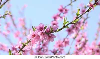 Apricot tree branch blossoming in spring orchard