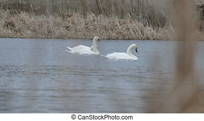 swans birds floating swan on nature water lake landscape -...