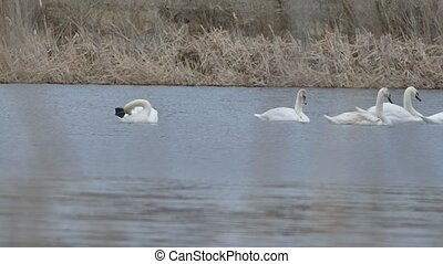 swans birds floating swan on water lake landscape nature -...