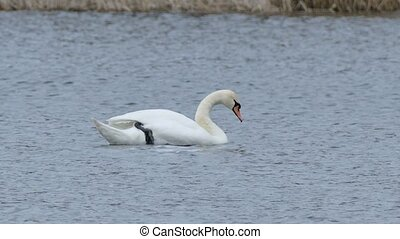 Birds swans floating swan on water nature lake landscape -...