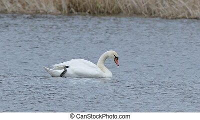 Birds swans floating swan on nature water lake landscape -...