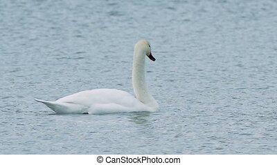 Birds swans floating swan on water nature landscape lake -...