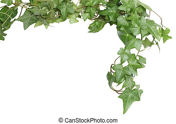 Green Ivy Border - Nice green ivy isolated on white...