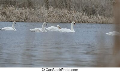 swans birds floating swan on water lake nature landscape -...