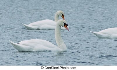 Birds swans floating swan on water landscape lake nature -...