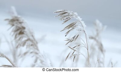 Reed covered with ice in winter