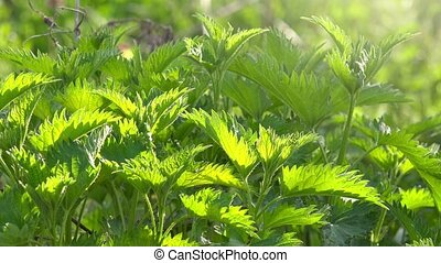 Stinging nettle or common nettle, a plant often used as a...