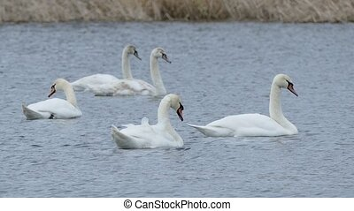 Birds swans floating swan on water landscape nature lake -...