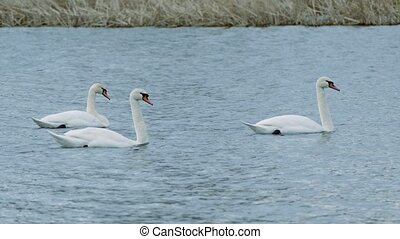 Birds swans floating swan on the water nature landscape lake...