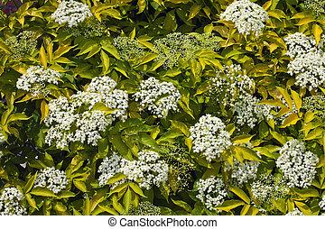 Flowering bush elderberry - Elderberry bush with white...