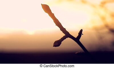 large macro branch bud pear silhouette landscape sunset...