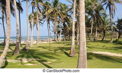 coconut trees beach caribbean - grove coconut trees by...