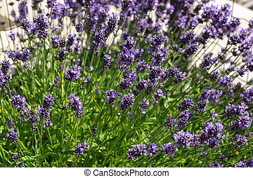 Gardens with the flourishing lavender