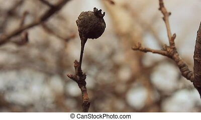 large landscape macro branch bud dried pear silhouette...
