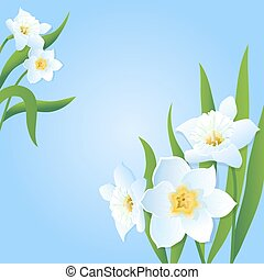 Daffodils - White daffodils on a blue background. Vector...