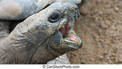 Hungry - Tortoise open mouth