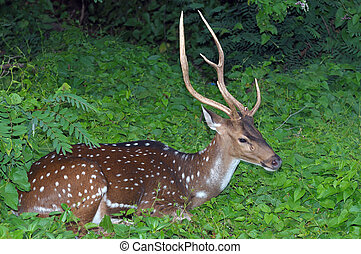 Spotted Deer - A spotted deer taking rest at a locl park
