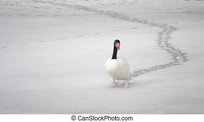 Beautiful black necked swan walks on snow on frozen pond -...