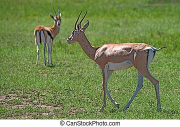 Grant's gazelle - Wild Grant's gazelle is grazing in...