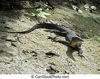 Fearless Fearsome Endangered Large Komodo Dragon Lizard