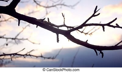macro large branch bud pear silhouette landscape nature...