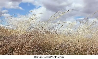 dry grass sways in the wind movement landscape nature - dry...