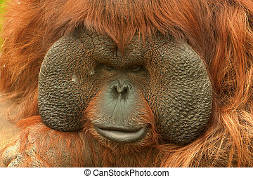 Orangutan Pongo pygmaeus - Boneo orangutan Pongo pygmaeus in...