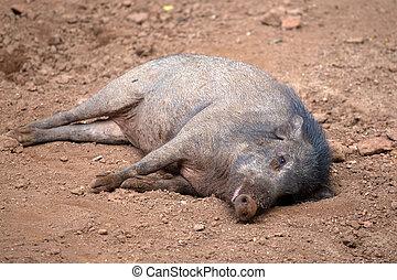 Peccary, ou, gambá, porca,