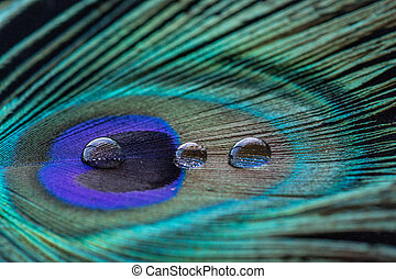 Peacock feather with 3 water drops